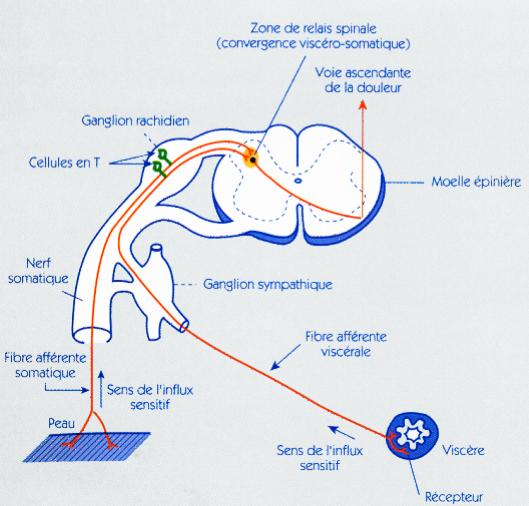 Schéma du trajet de la douleur vers la moelle épinière >document d